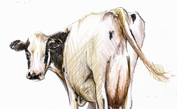 Cow Banner Image